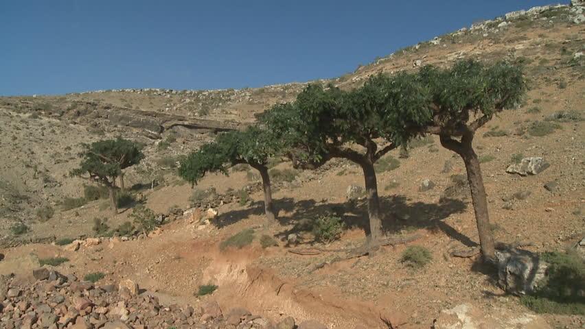 Boswellia trees (Frankincense tree), Socotra island, Yemen