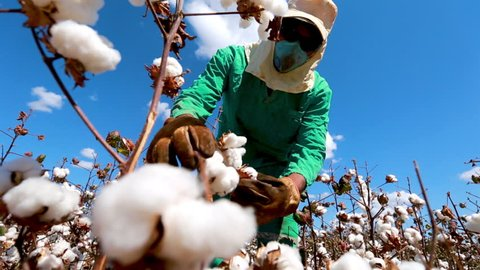 A worker inspects and picks cotton off of a cotton