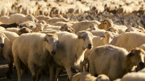 Sheep herd moving. Flock Of Sheep With Running on Mountain landscape. Shepherd outside the village. Livestock is grazing. Azerbaijan.