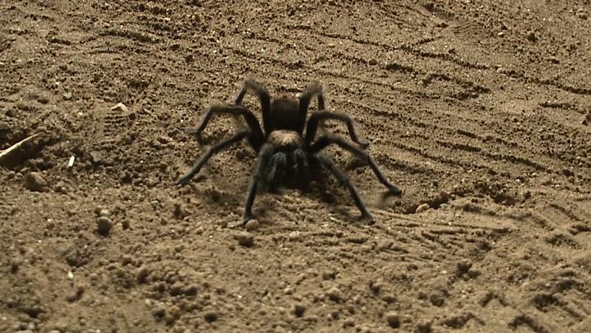Tarantula spider #276850