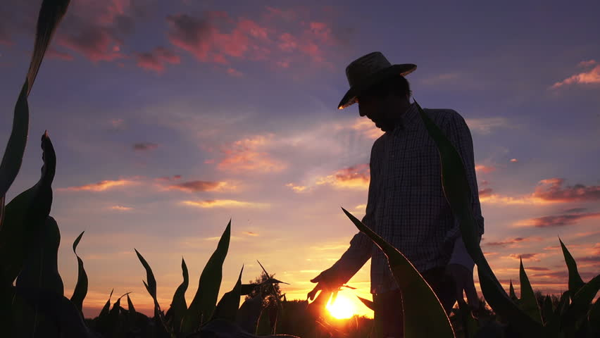 Silhouette of farmer walking through the field of cultivated corn maize crops in sunset