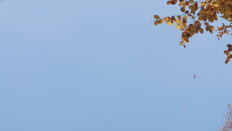 Background Image of Falling Leaves against Blue Sky in Autumn The leaves of a red beech fall at irregular intervals. The picture is taken with a light slow motion.