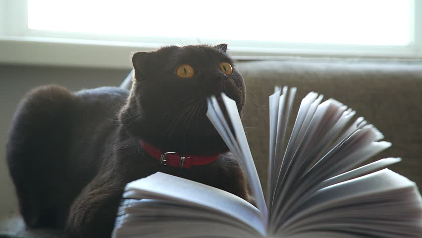 Playful cat and book. A Scottish lop-eared cat with a collar plays with book pages. A cat with large round yellow eyes looks through the pages of the book. Concept of a cozy evening: a cat and a book. | Shutterstock HD Video #27823891