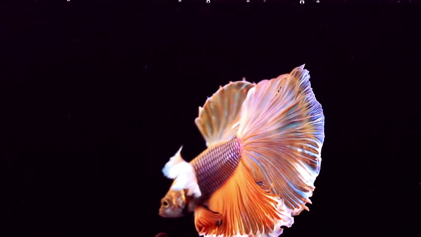 The colourful Siamese fighting fish Betta splendens, also known as Thai Fighting Fish or betta, is a species in the gourami family which is popular as an aquarium fish