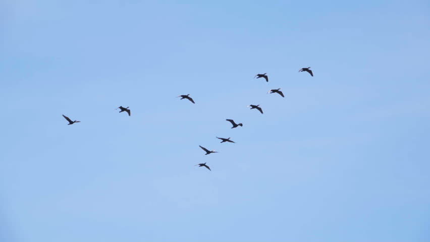 Follow leaders: Flock of  geese flying in an imperfect V formation. Slow motion.  Birds Geese flying in formation, Blue sky background. Migrating Greater birds flying in Formation | Shutterstock HD Video #27953641