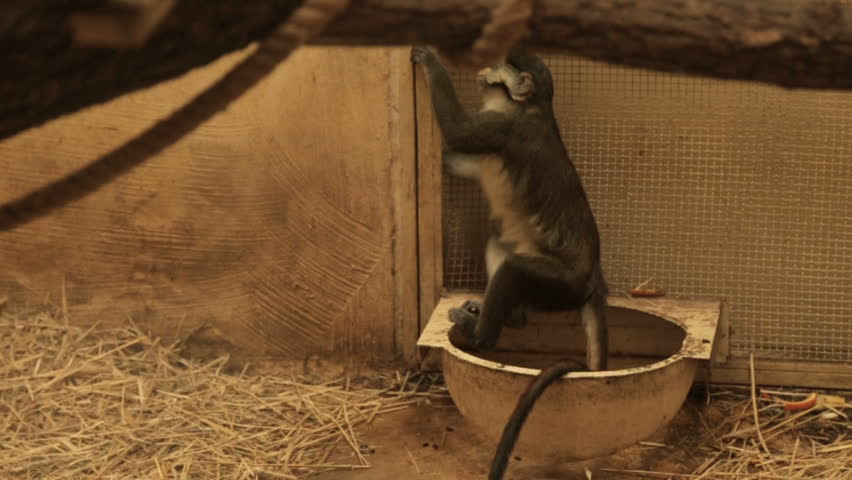 Big white-nosed monkey | Shutterstock HD Video #27988591