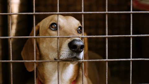 Homeless dogs. Muzzle of dachshund behind the bars of an animal shelter. HD