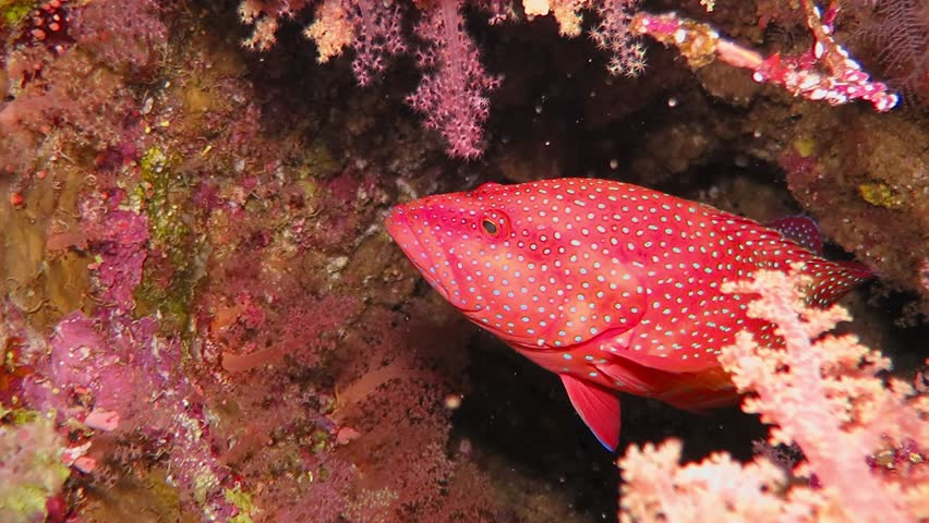 Red spotted grouper swimming from the big sponge. Tropical underwater coral reef with red fish swimming in corals. Liveaboard trip with scuba diving and aquatic life.