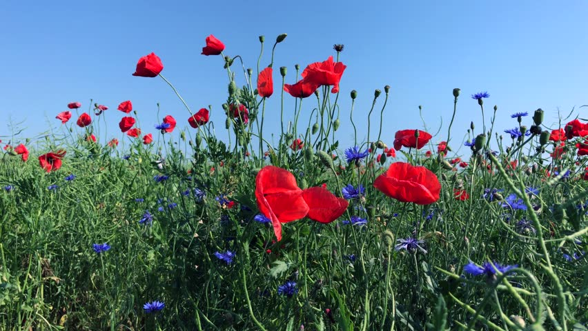 Stock video of poppy flowers camomile and blue gladiolus 19778155 4k0010red flowering poppies and blue cornflowers against the blue sky bottom view mightylinksfo