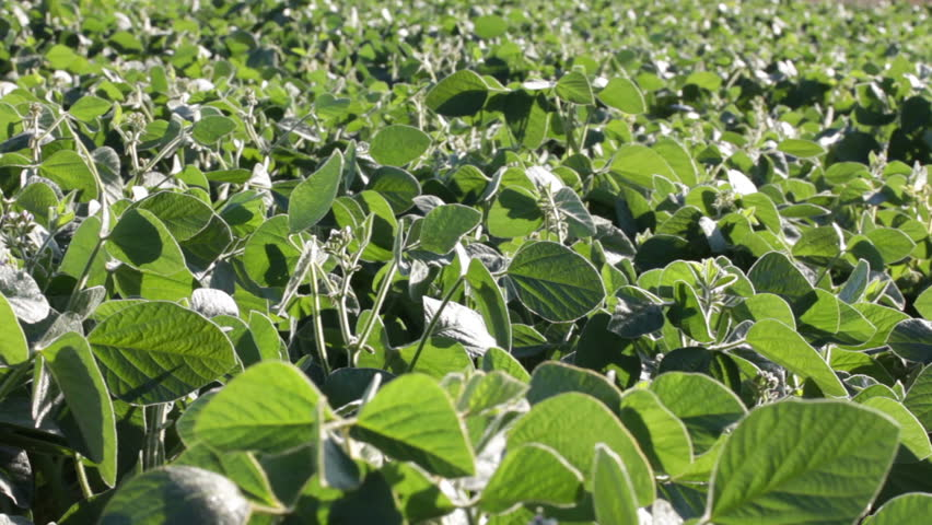 Soybean field with fresh green soya