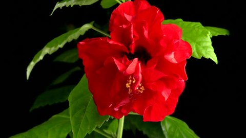 Big red flower blooming on a black background. Hibiscus blooms in time-lapse. Time lapse. High speed camera shot. Full HD 1080p.