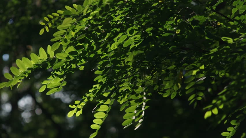 Close Up On Acacia Tree Leaves Stock Footage Video 100 Royalty