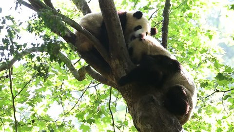 two giant panda bear playing in the tree