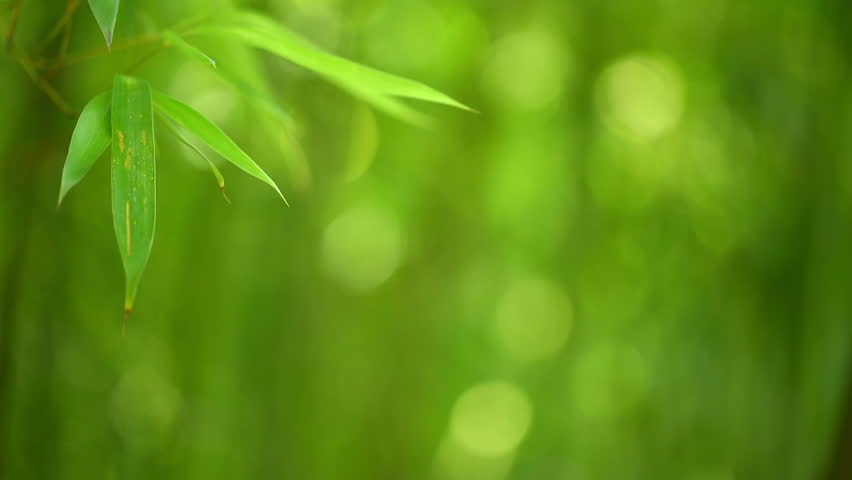 Bamboo forest background. Shallow DOF - HD stock video clip