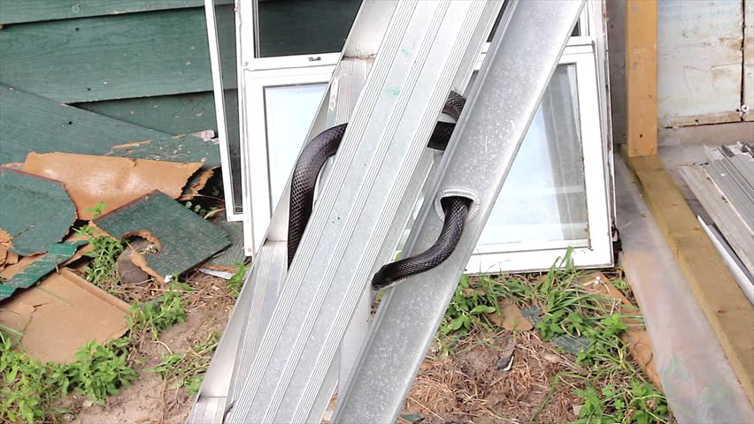 A Black Ratsnake slithers about on a ladder near a house in Ontario, Canada. Also know as the Gray Rat Snake.