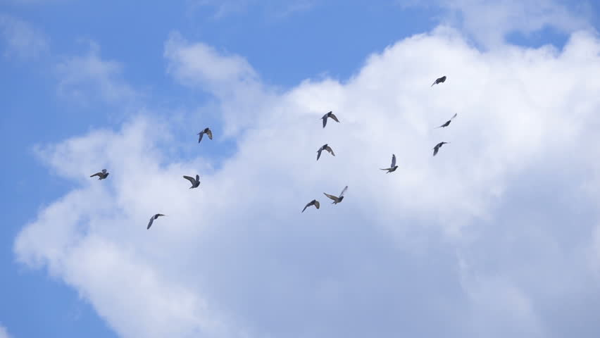 Small flock of pigeons shot in slow motion flying against blue cloudy sky | Shutterstock HD Video #28314331