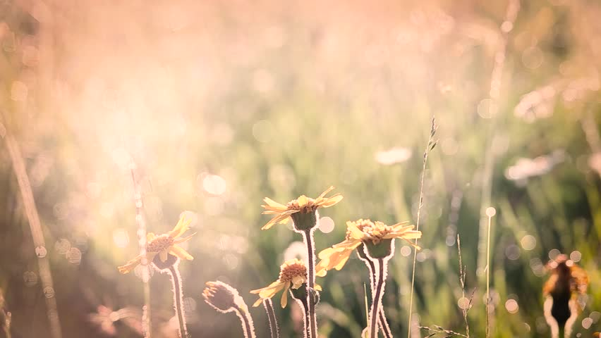 Beautiful morning nature background. Closeup of yellow flowers with drops of dew in charming light of summer sun. Many different plants and wildflowers in meadow. Filtered in vintage retro style.