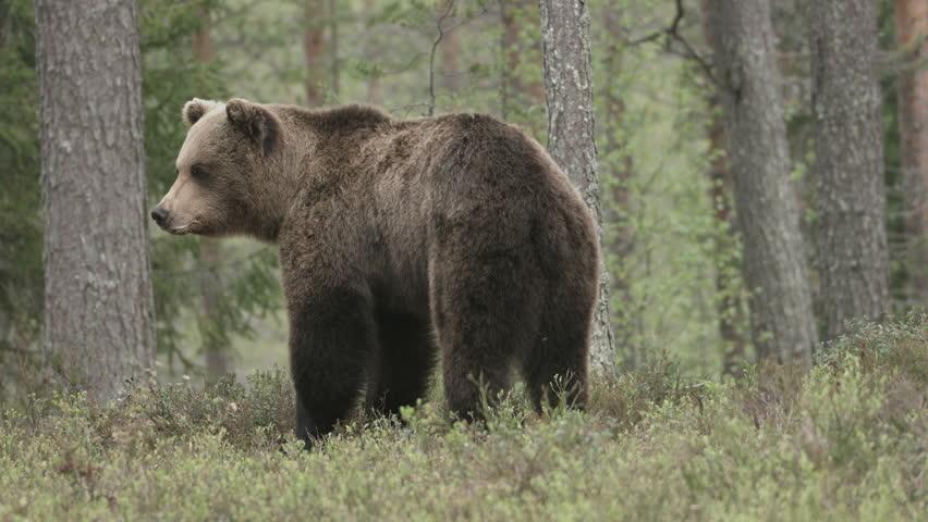 wild european brown bear #28339651