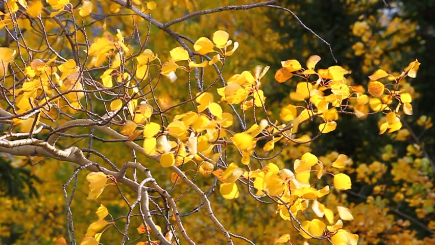 Bright yellow aspen leaves flutter in the breeze at Jasper National Park in Canada