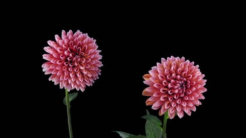 Time-lapse of opening red-white dahlia 14a3 in RGB + ALPHA matte format isolated on black background