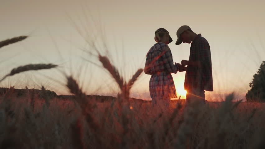 Two farmers are working in the wheat field at sunset. They use a tablet, communicate. In the foreground, spikelets of wheat