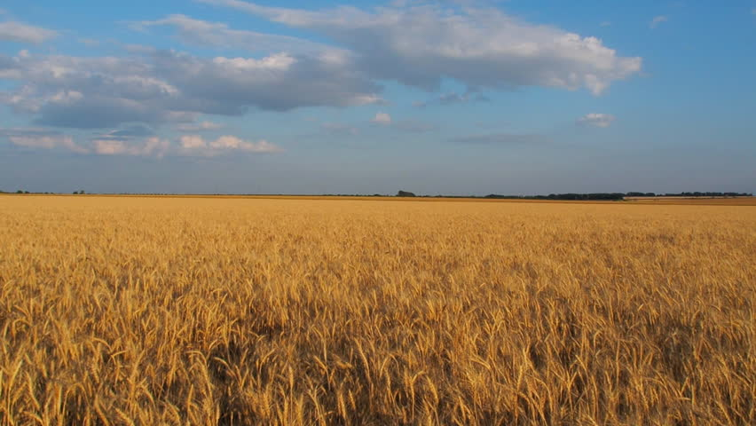 Wheat field. Ripe wheat.