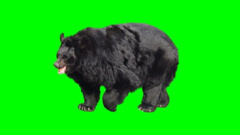 Asian black bear walking seamlessly looped on green screen, real shot, isolated with chroma key, perfect for digital composition, cinema, 3d mapping