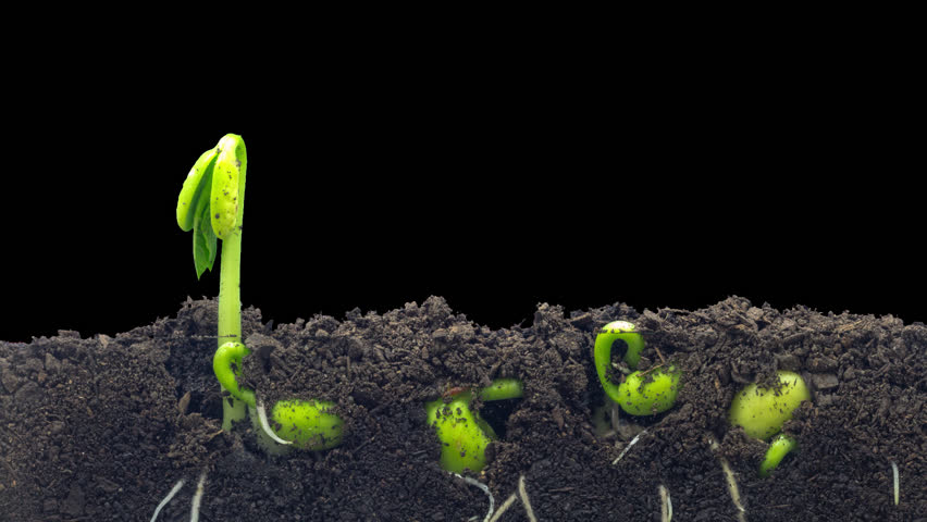 Macro Time lapse video of a bean seed growing from the ground in soil, underground and overground view with transparent background with alpha/Wheat plant growing from soil time lapse with alpha