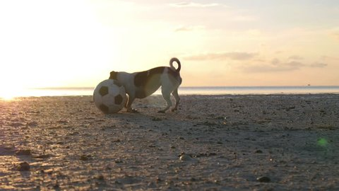 Jack Russell Terrier Dog Playing With Ball On Beach. Slow Motion. HD, 1920x1080.