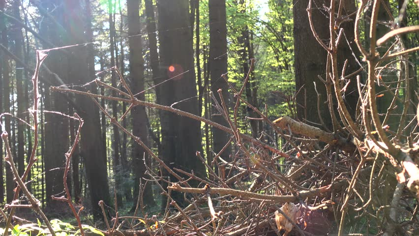 Spiderweb develops in the wind on dry branches of spruce