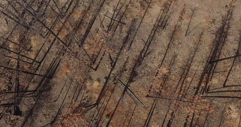 Aerial drone view Dead trees ravaged by wildfire in california