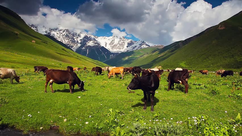 Cows grazing on alpine meadow at the foot of Shkhara glacier. Picturesque day, gorgeous scene. Location place Upper Svaneti, Georgia, Europe. Ecology concept. Beauty world. Shooting in HD 1080 video.