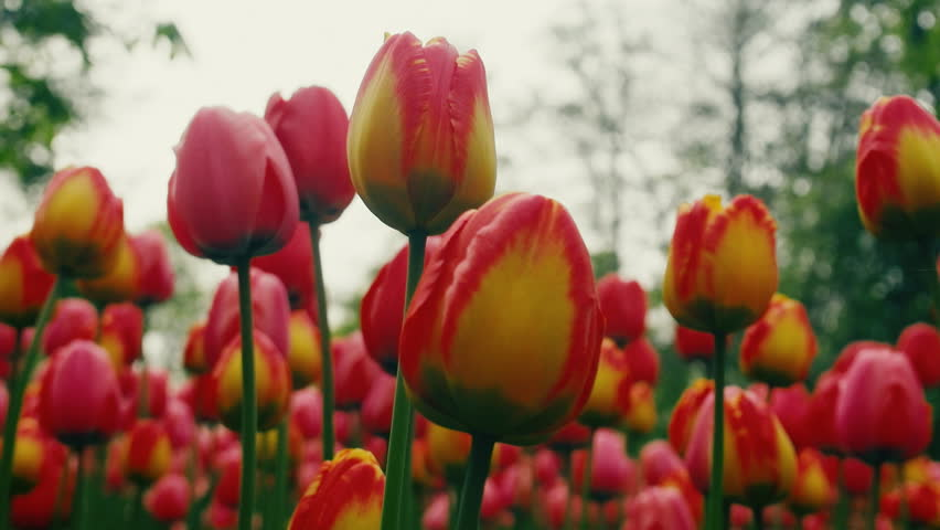 Forest of red flowers. Video shooting in flower bed at level of inflorescences of red tulips, mass and magnitude effect