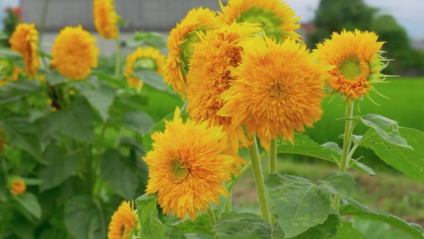 "Bright van Gogh sunflowers, ""Teddy bear"" swaying in wind in summer day"