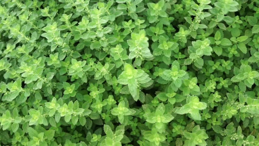 Mint Plant Grow At Vegetable Garden Stock Footage Video 11548031