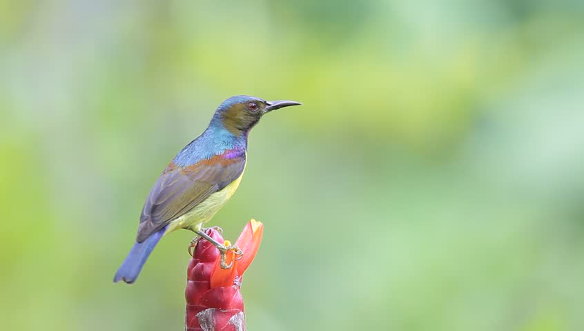 Brown-throated Sunbird eat syrup #2874811