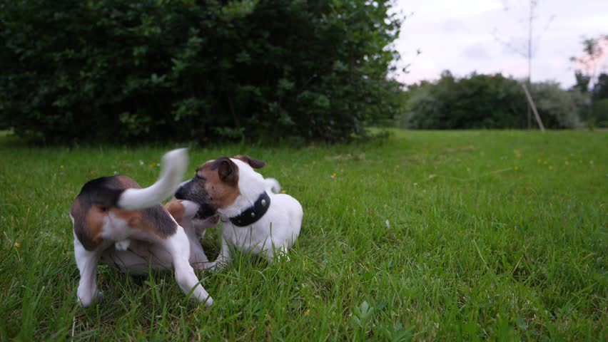 Two puppies play at grass, funny battle of young Beagle and Jack Russell Terrier dogs, slow motion shot. Lie on ground, clasp and tussle, typical active recreation of juvenile animals | Shutterstock HD Video #28751251