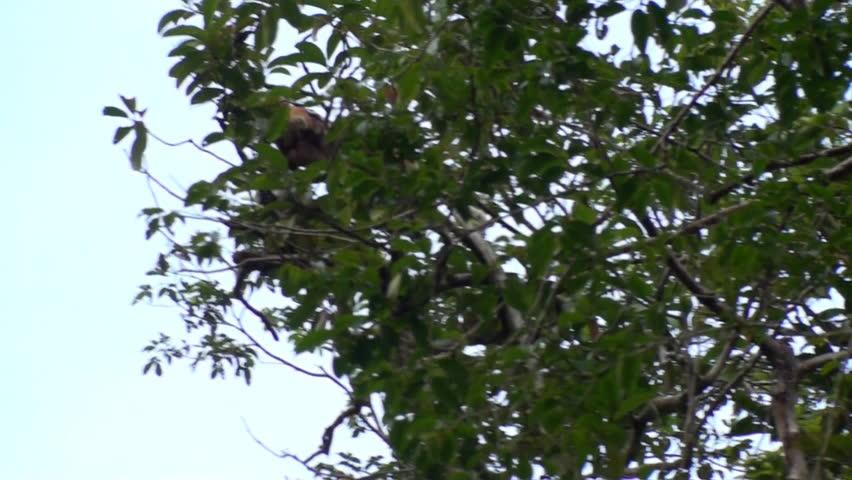 Macaque jumping between Trees, Borneo