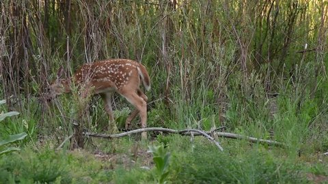 Baby White-tailed Deer Fawn