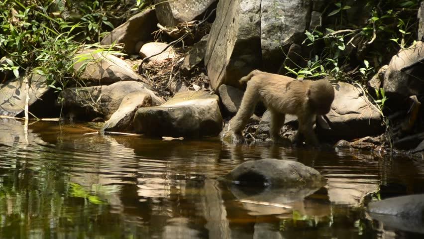 life of Assam macaque,life of Macaca assamensis,life of monkey