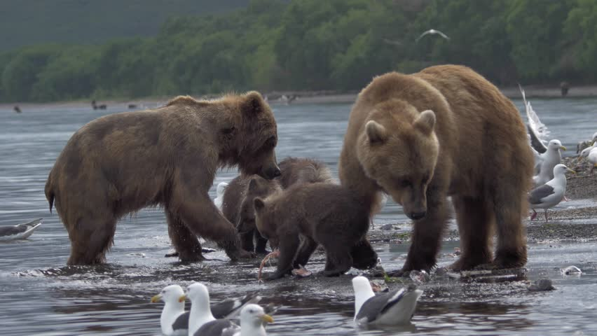 Family of bears. Bear and cubs. | Shutterstock HD Video #28853341