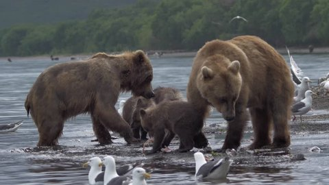 Family of bears. Bear and cubs.