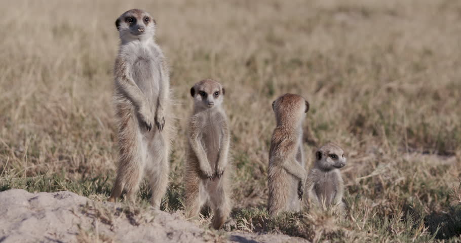 Three cute baby meerkats,one sitting,one sleeping on top of their burrow,Botswana | Shutterstock HD Video #28864291