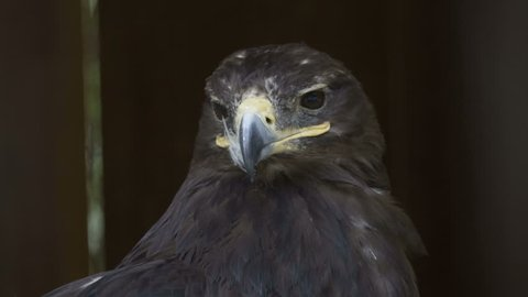 The head of the eagle is a close-up on a black background. Portrait of a large eagle. Predator hunting. Golden Eagle.