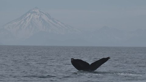 Humpback whale dives in the Pacific Ocean near the cost of Kamchatka Peninsula. Viluchinskiy volcano is on the horizon.
