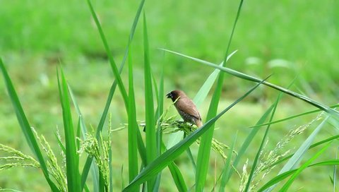 """Happy time of a bird"". This is a Scaly-breasted Munia, a very common resident bird of Thailand which could be find in paddy-fields, cultivation, scrub, secondary growth up to 1500 m."