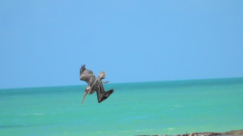 SLOW MOTION, CLOSE UP: Hungry wild pelican hunting fish in a beautiful emerald sea on the Yucatan peninsula, Mexico. Wild bird dropping from the sky plunging head first into the water to catch a prey