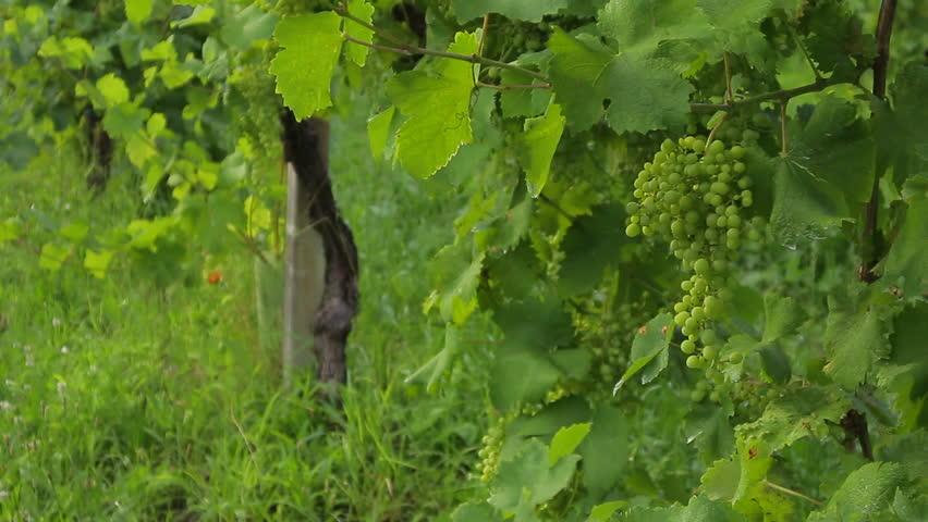 Prosecco vineyard on Cartizze hill, in Valdobbiadene-Conegliano, vine detail.