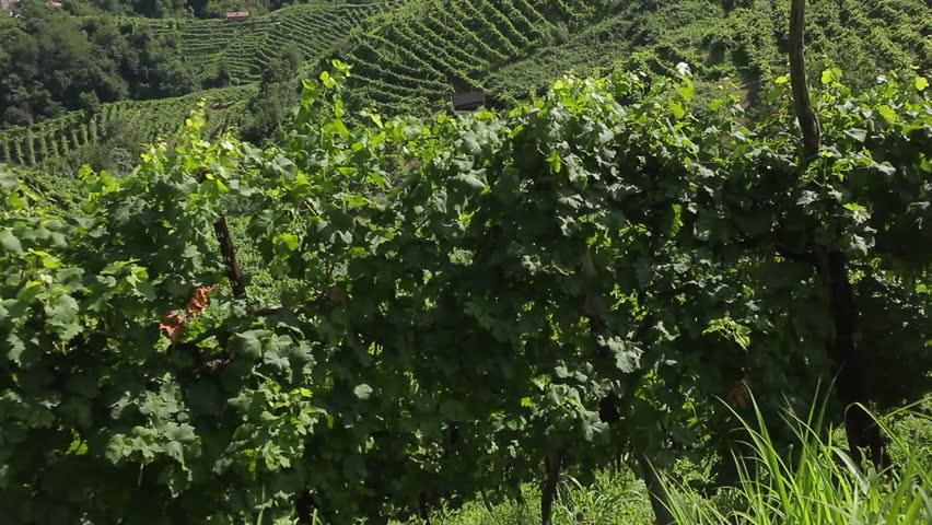 Guia hills covered with vineyards, in the municipality of Valdobbiadene. Prosecco Superiore di Conegliano-Valdobbiadene is a sparkling wine made Treviso province.
