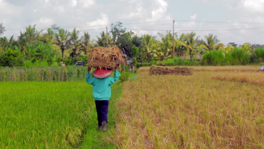 agriculture workers on rice field in Bali in the daytime